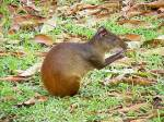 Agouti Rodent in Costa Rica
