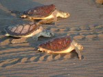 Sea Turtles of Costa Rica